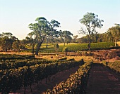 Organic wine growing, Settlers Ridge, Cowaramup, Australia