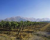 Vineyard in Valle de Curicò, S. Chile