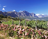 Vineyards of Haute Cabrière, Franschhoek, S. Africa