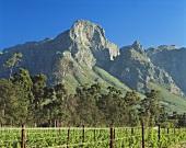 Morning in vineyard at foot of Groot Drakenstein, S. Africa