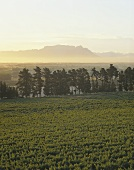 Vineyards with Table Mountain, Stellenbosch, S. Africa