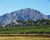 Vineyard in Tulbagh, excellent wine-producing region, S. Africa