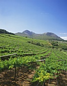 Vineyards in Paarl, wine region near Cape Town, S. Africa