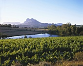 Vineyards in Paarl with view of Simonsberg, S. Africa