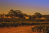 Abendstimmung im Weinberg, Leeuwin Estate, Westaustralien