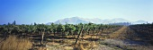 Vineyards in Valle del Maipo, Chile
