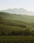 View over vineyards, Jordan Winery, Stellenbosch, S. Africa