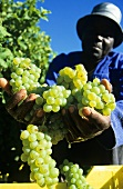 Grape picker with Sauvignon Blanc grapes, Walker Bay, S. Africa