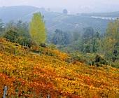 Weinberg im Herbst bei Barbesco, Piemont, Italien