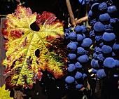 Zinfandel-Trauben, Summit Lake Vineyards, Angwin, Napa Valley