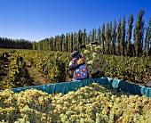 Weinlese auf Weinberg von Humberto Canale, Argentinien