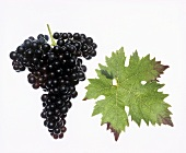 Tempranillo grapes with vine leaf
