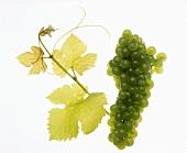 Viognier grapes with vine leaf