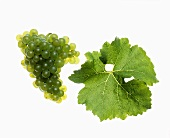 Scheurebe grapes with vine leaf