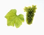 Morillon grapes with vine leaf