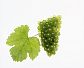 Silvaner grapes with vine leaf