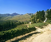 Dieu Donné Vineyards, Franschhoek, S. Africa