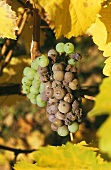 Riesling grapes with noble rot
