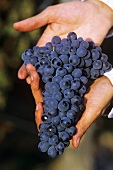 Barbera grapes in someone's hands