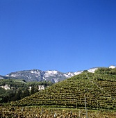 Weinberg bei Cortaccia (Kurtatsch), Südtirol