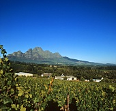 Vineyard on L'Ormarins Wine Estate, Franschhoek, S. Africa