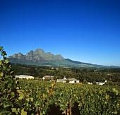 Vineyard on L'Ormarins Wine Estate, Franschhoek, S. Africa
