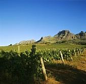 Cabernet-Sauvignon, Alto Wine Estate, Stellenbosch, S. Africa