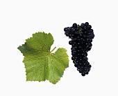 Spätburgunder grapes with vine leaf