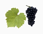 Blauburger grapes with vine leaf