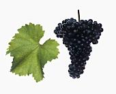 Zweigelt grapes with vine leaf