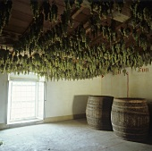 Drying grapes for Vin Santo, Fattoria Selvapiana