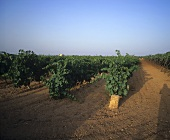 Rows of vines in Apulia, wine-growing region of Italy