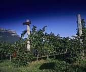 Vineyard, Schreckbichl (Colterenzio) Winery, Girlan, S. Tyrol, Italy