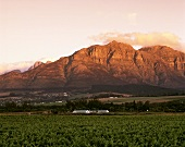 View towards Simonsberg at sunset, Stellenbosch, S. Africa