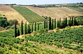 Vineyards close to Marsala; Sicily, Italy