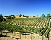 Vineyard in Russian River District, Sonoma, California
