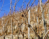 Vines in winter at Burrweiler, Rheinpfalz, Germany