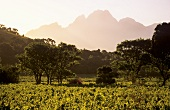 View of Simonsberg over vineyards, Franschhoek, S. Africa