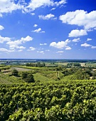 Vineyards around Bensheim, Hessische Bergstrasse, Germany
