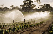 Irrigating vines with overhead sprinklers, California