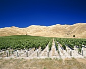 'Clayvlin' vineyard, Blenheim, Marlborough, N. Zealand
