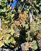 Silvaner grapes