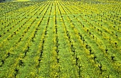 Ecological wine-growing (mustard flowers between rows of vines)