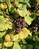 Grauburgunder grapes (also known as Pinot Gris & Pinot Grigio)