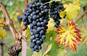 Blaufränkisch, Austrian grape variety (also known as Lemberger)