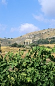 Vineyards against backdrop of ancient Temple of Segesta, Sicily
