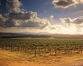 Roxburgh Vineyard, Upper Hunter Valley, NSW, Australien