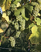 Viognier, unusual vine variety in Condrieu in Rhone Valley
