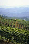 Vineyards near Barbaresco, Piedmont, Italy
