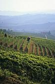 Weinberge bei Barbaresco, Piemont, Italien